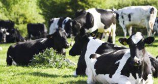 فروش مکمل گاو شیری