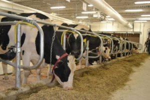 پروبیوتیک گاو شیری