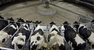 مکمل خوراک گاو شیری