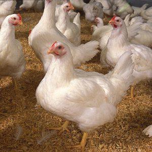 قیمت مکمل مرغ تخمگذار