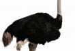 مکمل شترمرغ سیانس