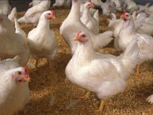 فروش مکمل مرغ گوشتی