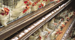 مکمل طیور تخمگذار